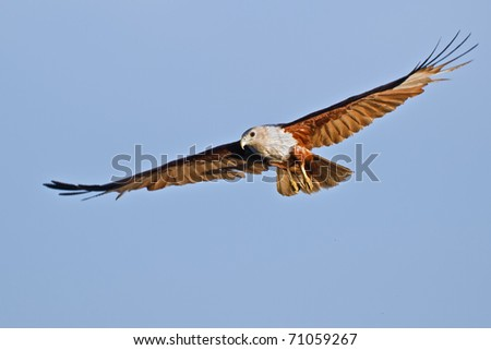 Flying Brahminy Kite at blue sky - Haliastur indus - stock photo