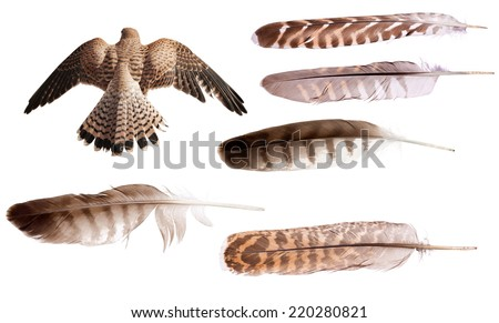 flying brown falcon and feathers set isolated on white background - stock photo