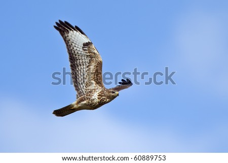 flying buzzard at the blue sky - stock photo