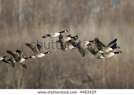Flying Canada Geese - stock photo