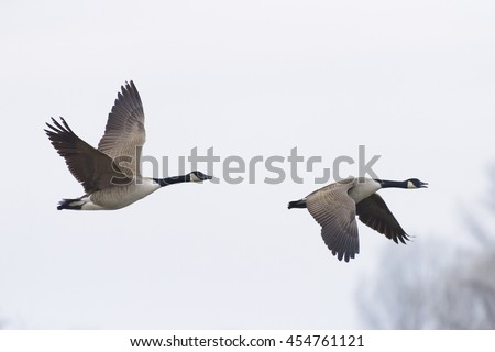 Flying Canada Geese (Branta canadensis), Germany - stock photo