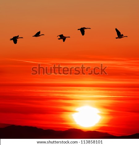 Flying Canadian geese over Pacific Ocean on the bloody sunset's background - stock photo