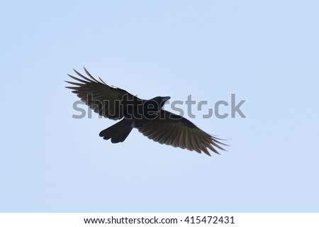 Flying carrian crow with wide-spread wings