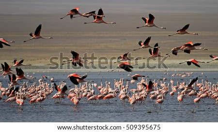 Flying chileflamingos, lake Tajsara, southern Bolivia South America