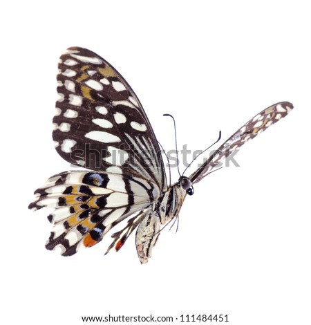 flying citrus swallowtail lime butterfly, Papilio demoleus,isolated on white - stock photo