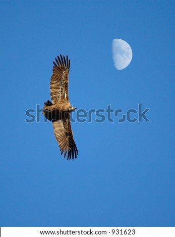 Flying condor  with moon