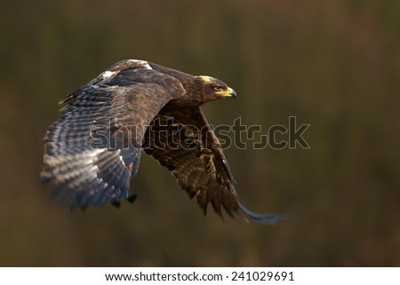 Flying dark brawn bird of prey Steppe Eagle (Aquila nipalensis) with large wingspan - stock photo
