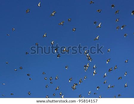 Flying doves - stock photo