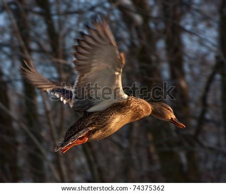 Flying duck - stock photo