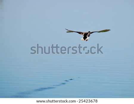 flying duck on a lake