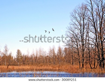 flying ducks on lake - stock photo