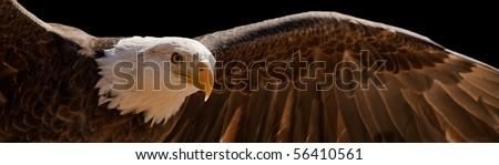 flying eagle - stock photo
