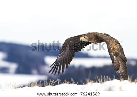 Flying Eagle - stock photo