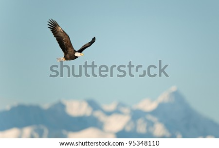 Flying eagle ( Haliaeetus leucocephalus washingtoniensis  )over snow-covered mountains. Winter Alaska. USA - stock photo