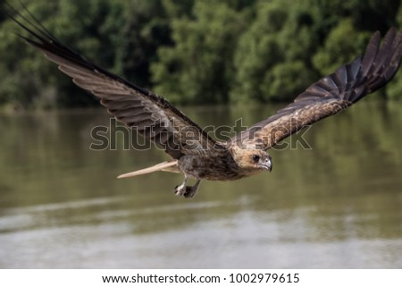 Flying Eagle in nature