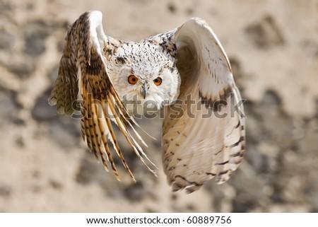 Flying Eagle Owl - stock photo