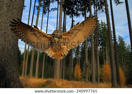 Flying Eurasian Eagle Owl with open wings in forest habitat, wide angle lens photo  - stock photo