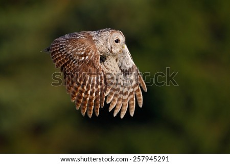 Flying Eurasian Tawny Owl (Strix aluco) with nice green blurred forest in the background  - stock photo