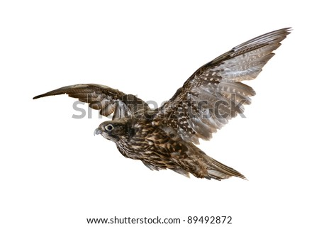 flying falcon isolated on a white background - stock photo