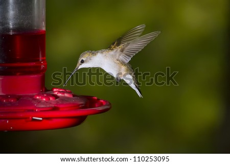 Flying female of ruby-throated hummingbird about a feeder. - stock photo