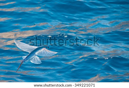 flying fish - stock photo