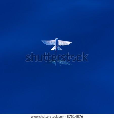 Flying Fish - stock photo