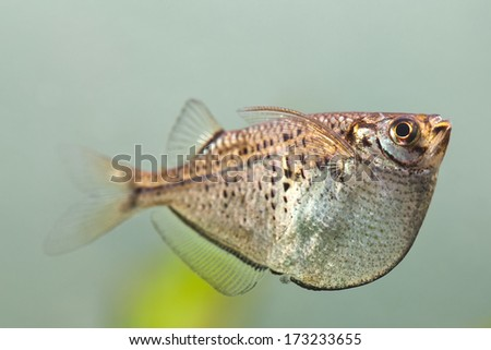 Flying fish. Gasteropelecus sternicla. Freshwater aquarium tank with unusual shape fish. macro, soft focus
