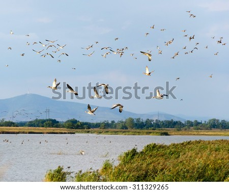 Flying flock of mallard ducks in the sky. The place is the lake Feher-szik in Tiszavasvari, Hungary. Tokaj hill can be seen in the background. Hungarian countryside. - stock photo
