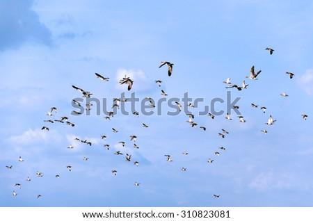 Flying flock of mallards in the sky. Wild ducks during autumn migration.  - stock photo