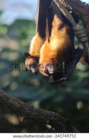 Flying Fox - stock photo