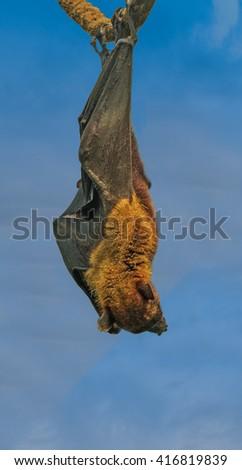 Flying fox (fruit bat) hanging from a rope - stock photo