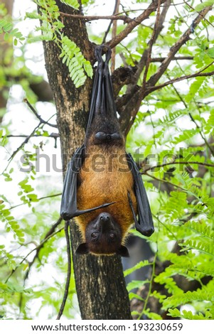 Flying fox hanging on the tree - stock photo