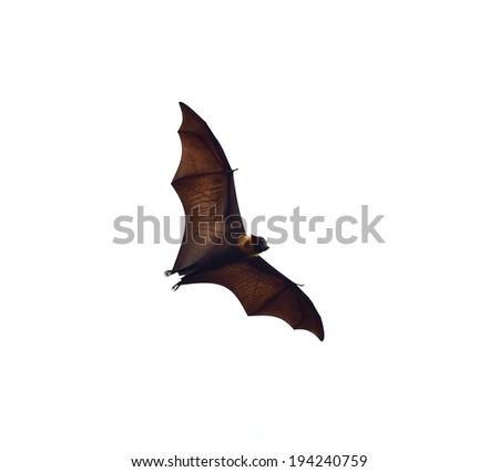 flying fox - huge bat isolated on white background - stock photo
