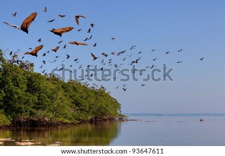 Flying-fox in Rinca, Indonesia - stock photo