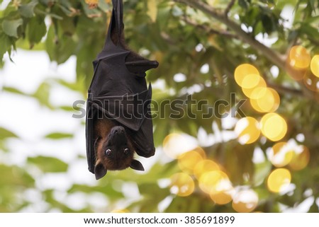 flying fox on the maldives islands