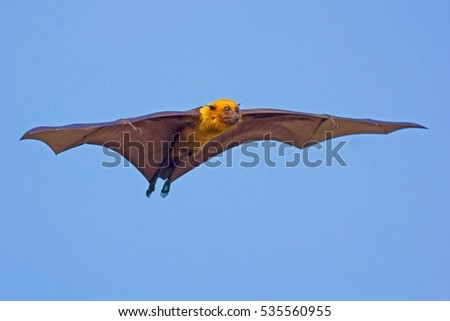 Flying foxes.