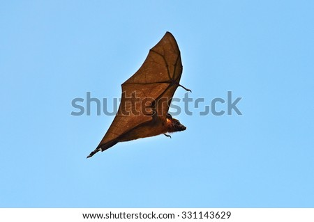 Flying foxes in the wild on the island of Sri Lanka