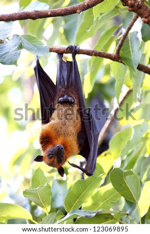 Flying Foxes on tree. - stock photo