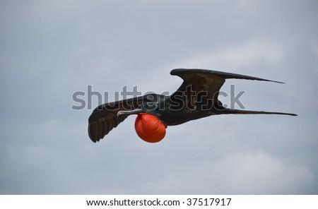 Flying Frigatebird - stock photo