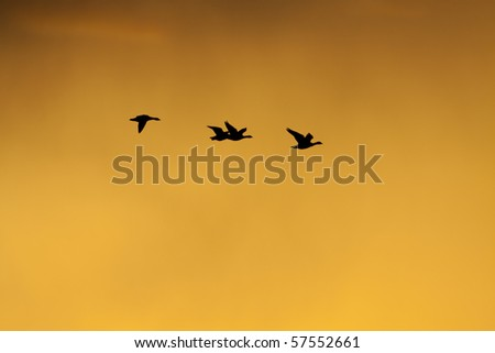 Flying geese a sunset with a dramatic sky