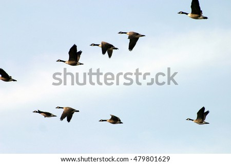 Geese Flying V Stock Images, Royalty-Free Images & Vectors ...