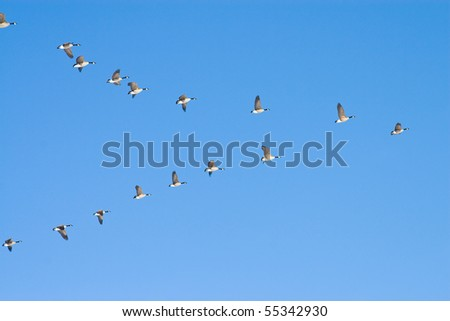 Flying geese in v shape - stock photo