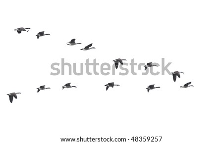 Flying geese in v shape isolated on white background - stock photo