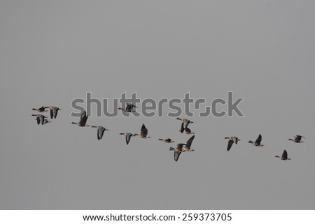 Flying geese on a natural sky background, easy to isolate for copy space. It is migration of Greater White-fronted Goose (Anser albifrons). This specie distributed in USA, Canada, UK, Europe and Asia. - stock photo