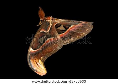 flying giant silkworm moth Attacus atlas in black - stock photo