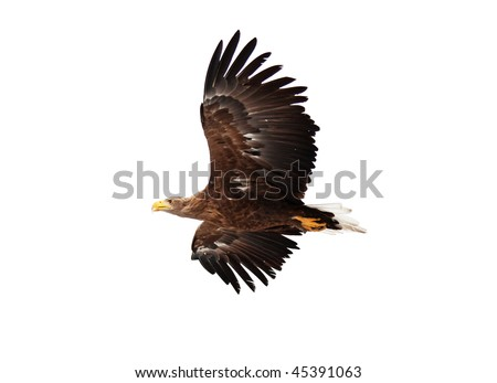 flying golden eagle on white background - stock photo