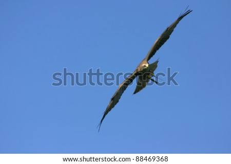 Flying golden eagle with a blue sky