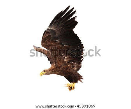 Flying golden eagle with prey in its claws (chicken) - stock photo
