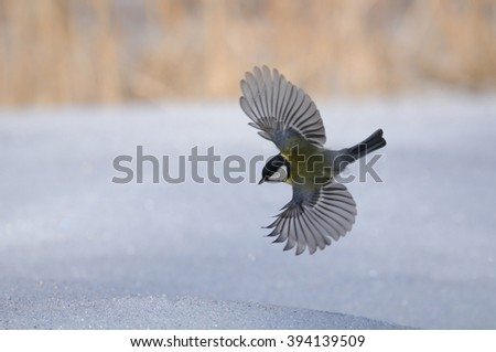 Flying Great tit (Parus major) above snow - stock photo