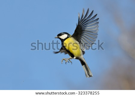 Flying Great Tit (Parus major) against autumn sky background. Moscow region, Russia - stock photo